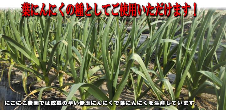 葉にんにくの種