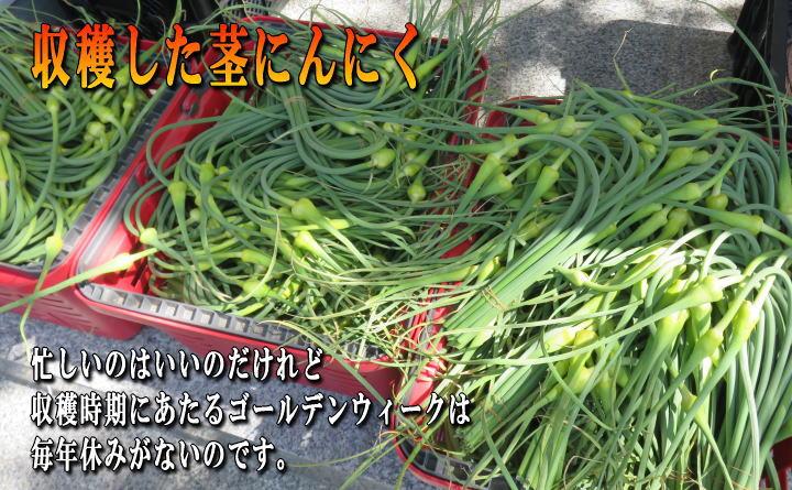 収穫した茎にんにく