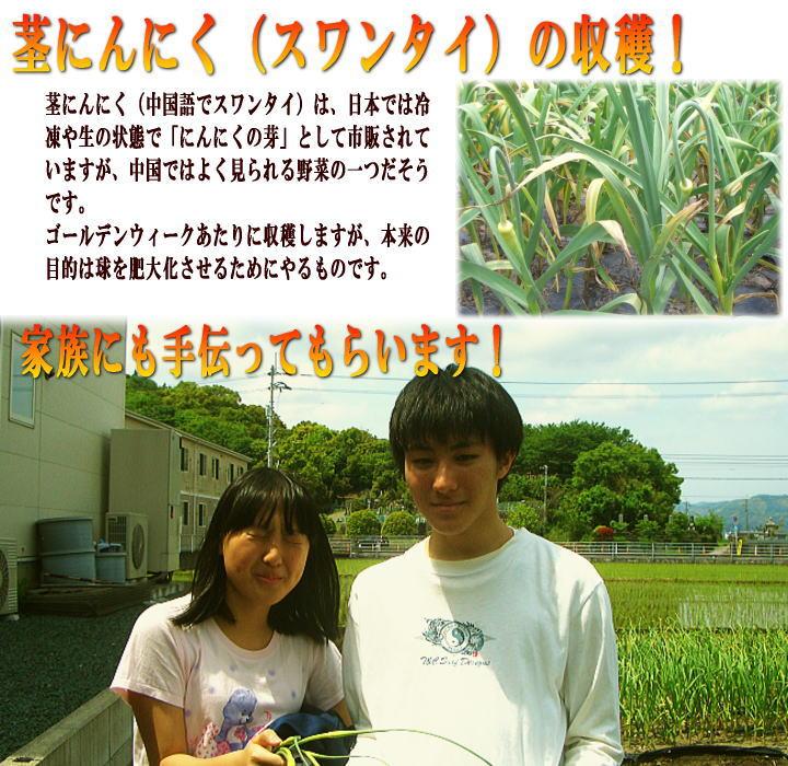 にんにく生産茎の収穫