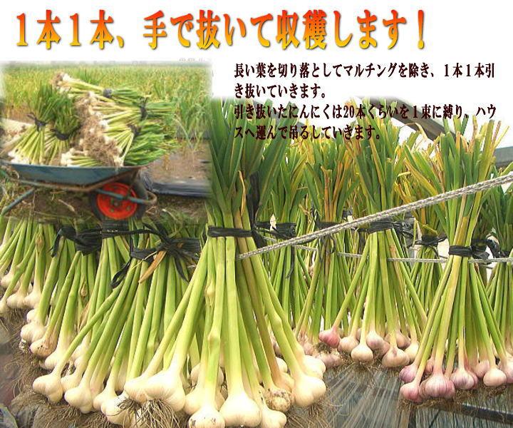にんにく生産収穫